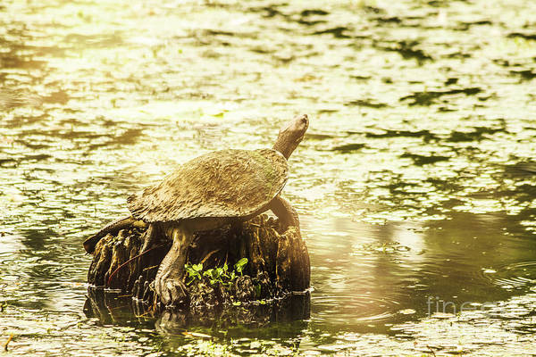 Tortoise Shell Photograph - Lake Turtles by Jorgo Photography - Wall Art Gallery