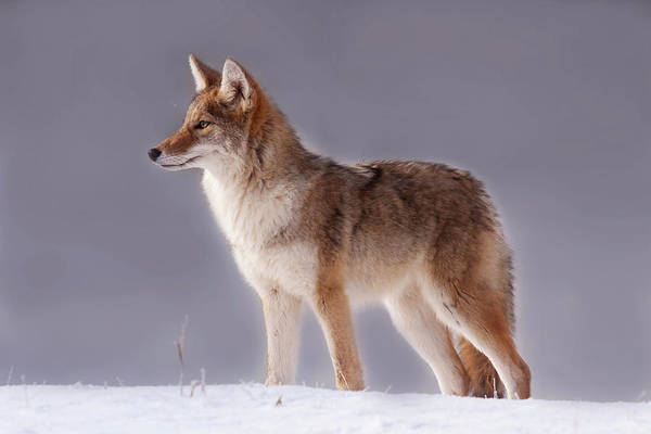 Photograph - Lakeside Coyote by Mark Miller