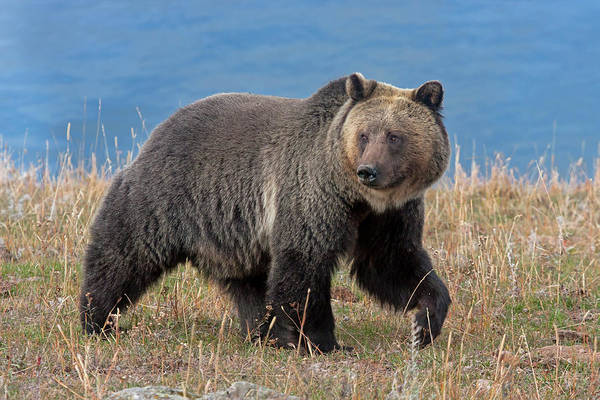 Photograph - Lakeside Grizzly by Mark Miller