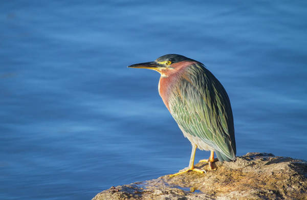Photograph - Lakeside Green Heron by Mark Miller