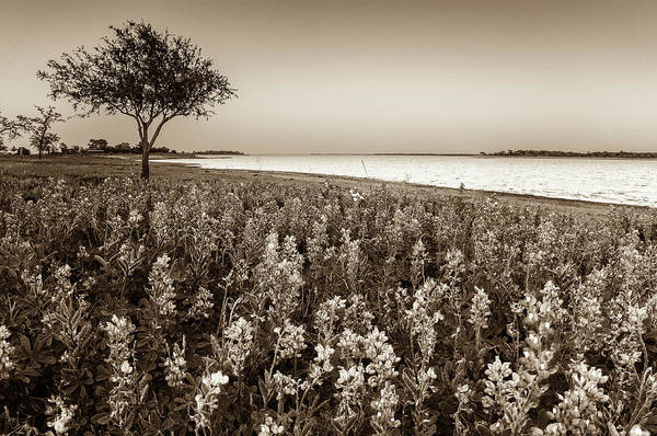 Wall Art - Photograph - Lakeside Texas Bluebonnets In Twilight -sepia - Lake Somerville, by Ellie Teramoto
