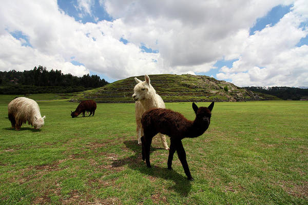 Photograph - Llama Herd At Sacsayhuaman Ruin, Peru by Aidan Moran