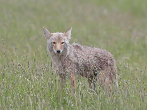 Photograph - Lamar Valley Coyote by Dan Sproul