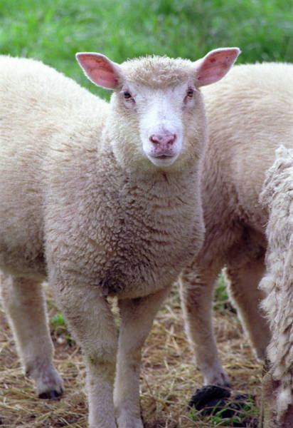 Photograph - Lamb by Frank DiMarco