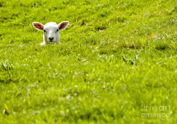 Lamb Photograph - Lamb In A Dip by Meirion Matthias