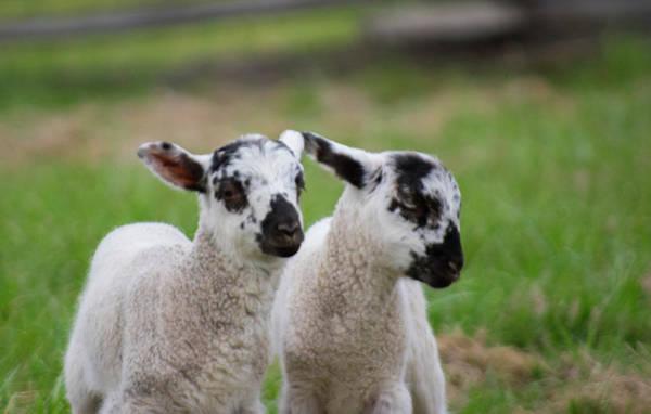 Photograph - Lamb Twins by Buddy Scott