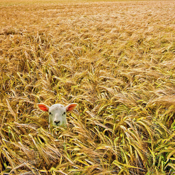 Livestock Photograph - Lamb With Barley by Meirion Matthias