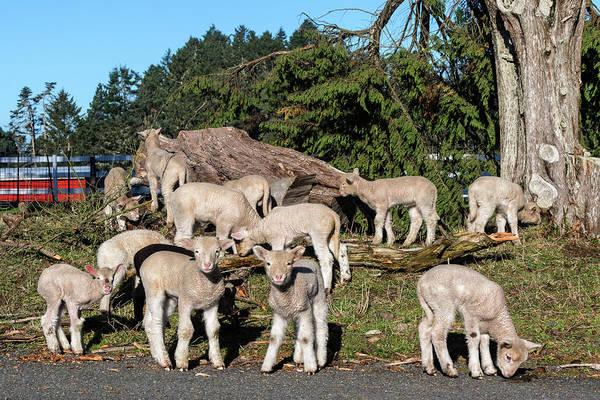 Wall Art - Photograph - Lambing Season by Kathleen Bishop