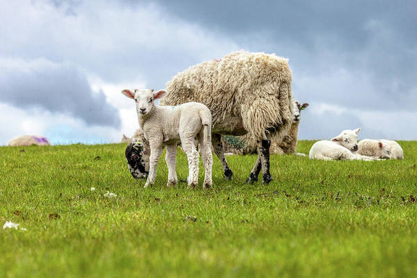 Lamb Photograph - Lambs In Lancashire by W Chris Fooshee