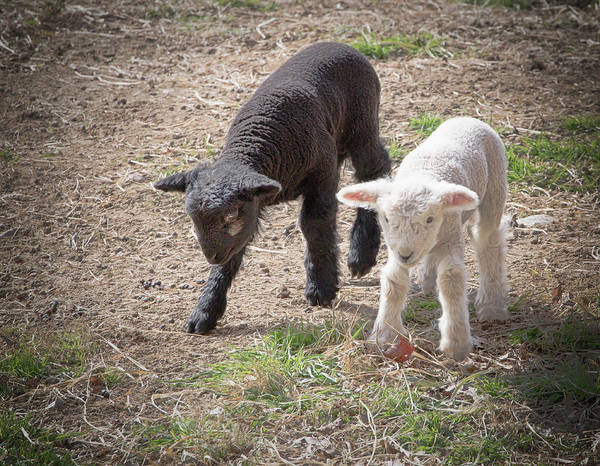 Photograph - Lambs by Natalie Rotman Cote