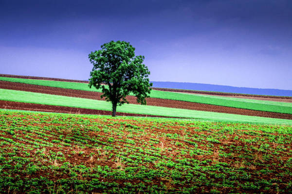 Photograph - Lancaster Tree In Field by Susan Hendrich