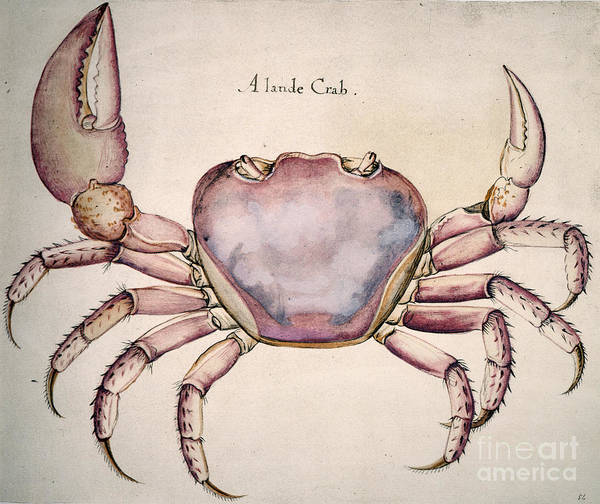 Photograph - Land Crab by Granger