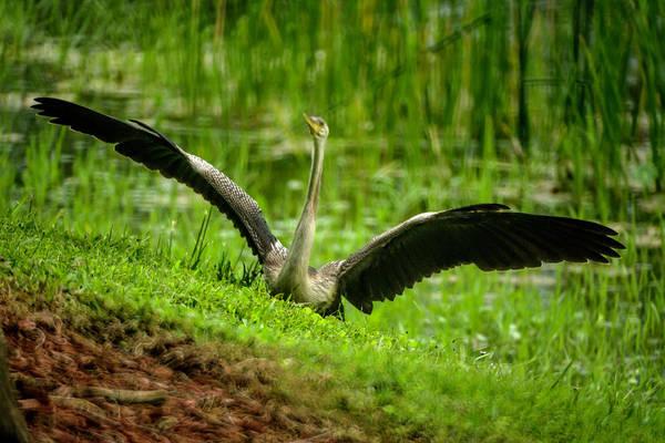 Photograph - Landing Anhinga by Wolfgang Stocker