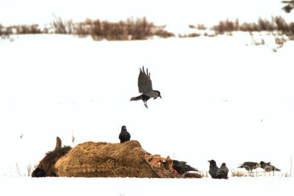 Photograph - Landing On The Bison Carcass by Adam Jewell