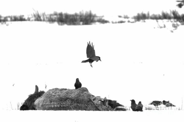 Photograph - Landing On The Bison Carcass Black And White by Adam Jewell