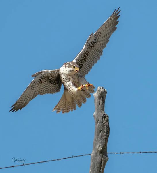 Photograph - Landing Prairie Falcon by Judi Dressler