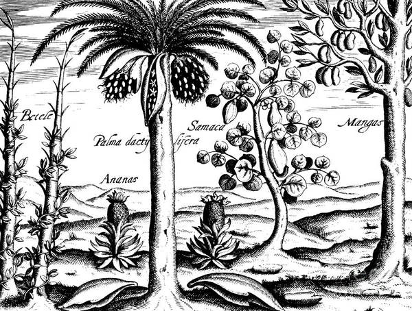Pineapples Drawing - Landscape, Illustration From India Orientalis, 1598  by Theodore de Bry