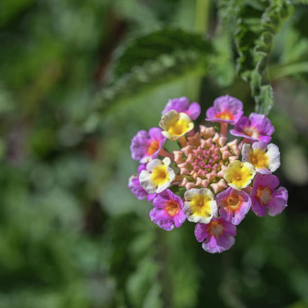 Lantana In Bloom Art Print
