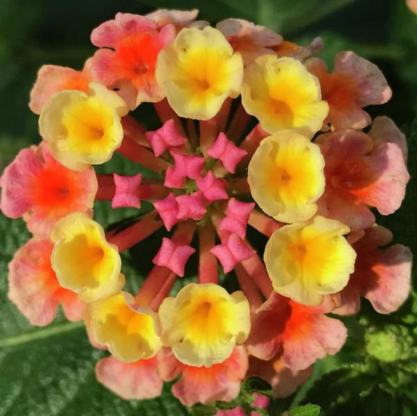 Photograph - Lantana Love by Annette Hadley