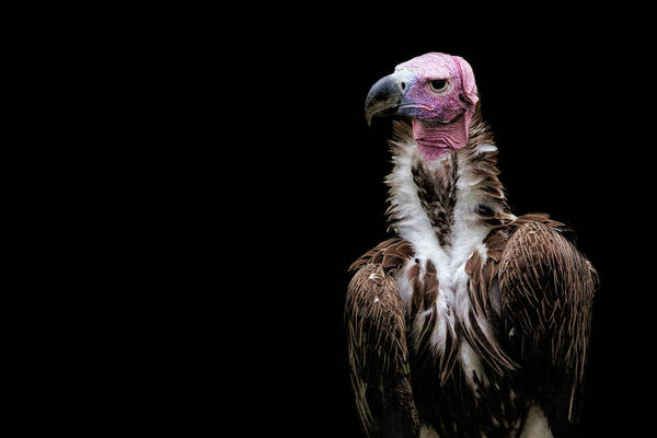 Photograph - Lappet-faced Vulture - Africa - African Vulture - Nubian Vulture by Jason Politte