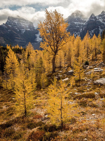 Photograph - Larch Family by Emily Dickey