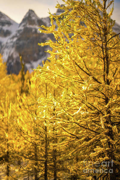 Wall Art - Photograph - Larch Valley Banff Golden Forest by Mike Reid