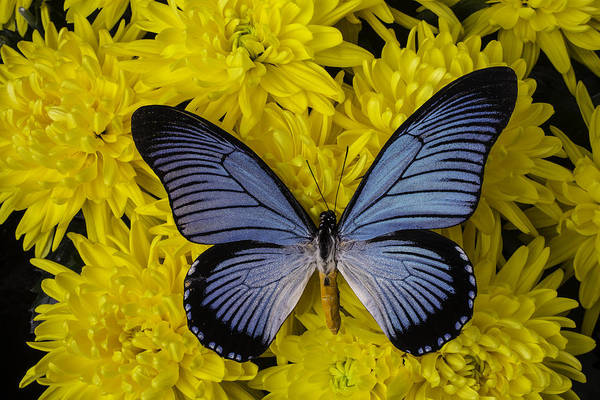 Mums Photograph - Large Blue Butterfly On Mums by Garry Gay