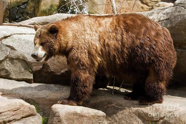 Photograph - Large Brown Bear by Jill Lang
