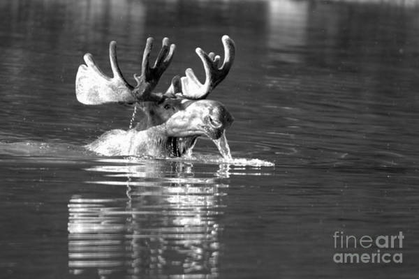 Photograph - Large Bull Moose Drool Black And White by Adam Jewell