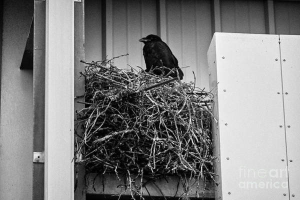 Crows Nest Wall Art - Photograph - large common ravens nest built in a commercial building Iceland by Joe Fox