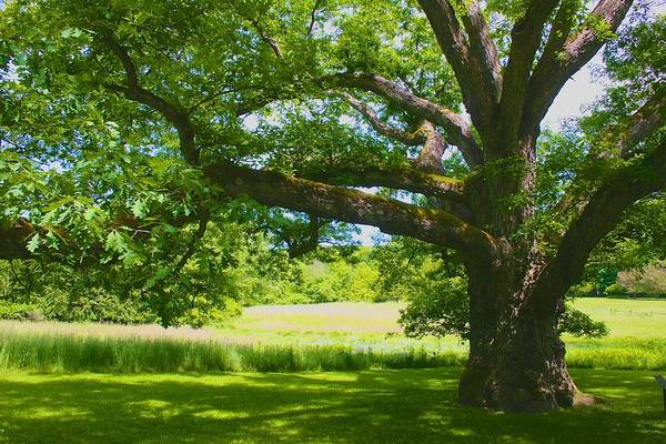 Photograph - Large Connecticut Oak by Polly Castor