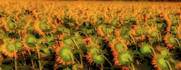 Wall Art - Photograph - Large Field Of Sunflowers by Garry Gay