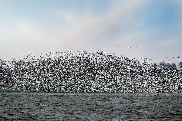 Photograph - Large Flock Of Snow Geese On Lake by Dan Friend