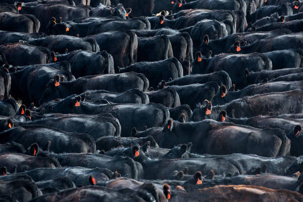 Steer Photograph - Large Herd Of Black Angus Cattle by Todd Klassy