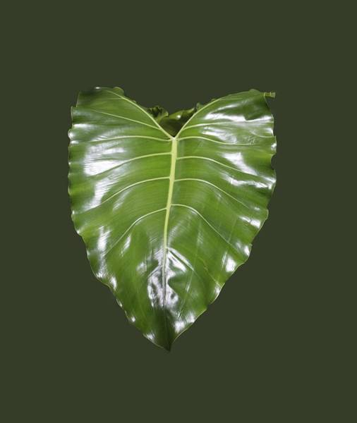 Photograph - Large Leaf Transparency by Richard Goldman