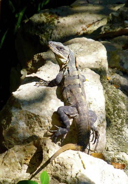 Photograph - Large Lizard M by Francesca Mackenney