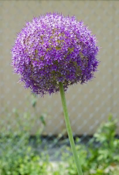 Photograph - Large Round Purple Flower by Lynn Hansen
