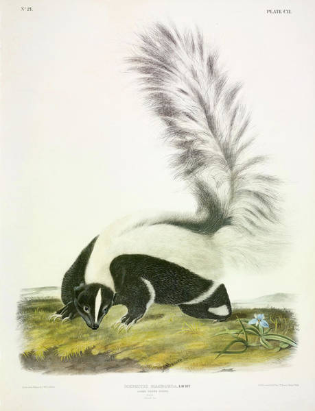 Smell Painting - Large-tailed Skunk by John James Audubon