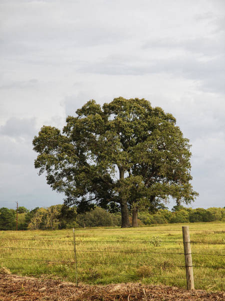 Photograph - Large Tree In Field by Charles McKelroy