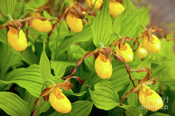 Wall Art - Photograph - Large Yellow Lady's Slipper  by Susan Cole Kelly