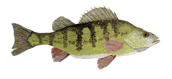 Painting - Large Yellow Perch by Thom Glace