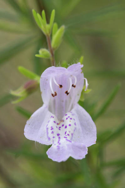 Photograph - Largeflower False Rosemary #1 by Paul Rebmann