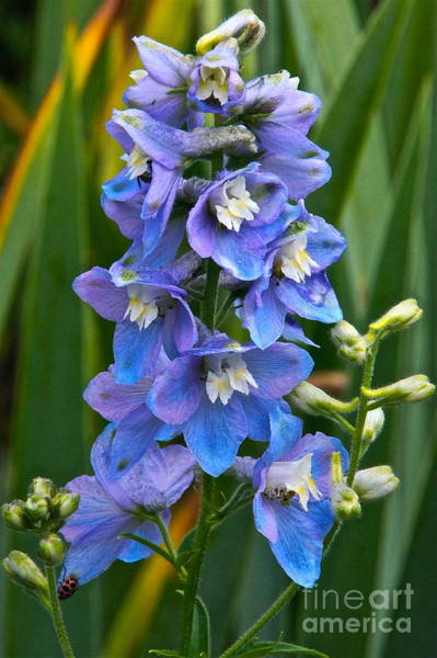 Photograph - Larkspur And Lady Friend by Byron Varvarigos