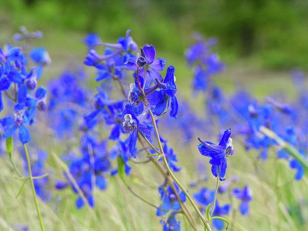 Photograph - Larkspur by Bryan Smith