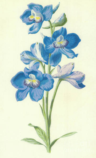 Wall Art - Painting - Larkspur by Frederick Edward Hulme