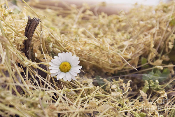 Photograph - Last Chamomile Blossom Of The Season by Cindy Garber Iverson