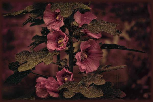 Photograph - Last Hollyhock Blooms by Douglas MooreZart