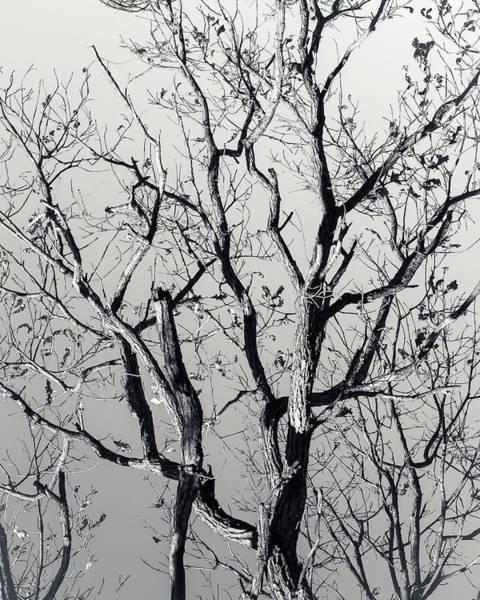 Photograph - Last Light Oak by Mark Mille