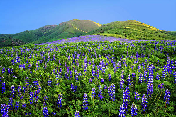 Photograph - Last Light On The Lupines by Lynn Bauer
