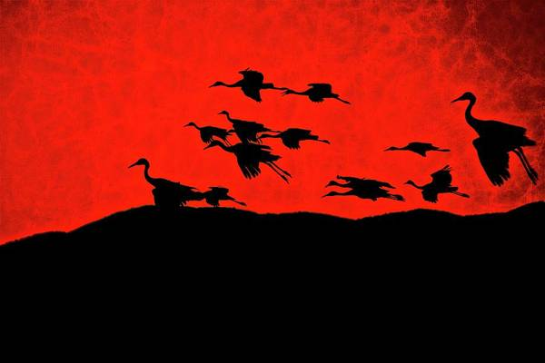 Photograph - Last Light, Sandhill Cranes, Bosque Del Apache, Nm by Flying Z Photography by Zayne Diamond